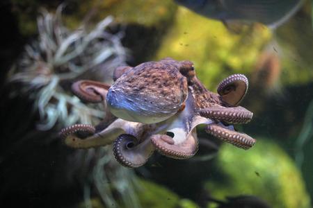 Common octopus Octopus vulgaris. Wildlife animal. 스톡 콘텐츠