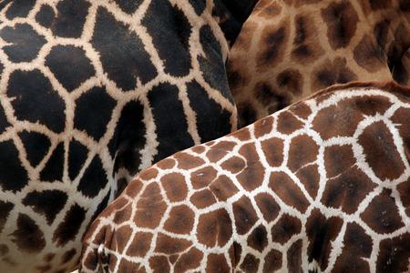 giraffa camelopardalis: Rothschild giraffe (Giraffa camelopardalis rothschildi) skin texture. Wildlife animal.