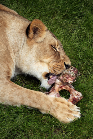 felid: Katanga lion (Panthera leo bleyenberghi), also known as the Southwest African lion. Wildlife animal.
