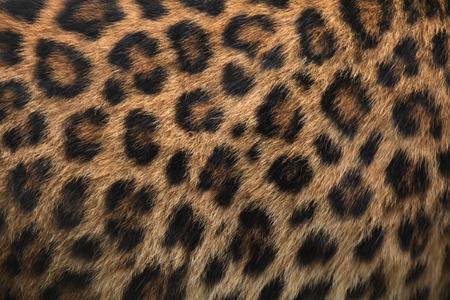 macro animals: North-Chinese leopard (Panthera pardus japonensis) fur texture. Wildlife animal. Stock Photo