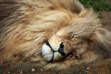 southwest: Katanga lion (Panthera leo bleyenberghi), also known as the Southwest African lion. Wildlife animal.