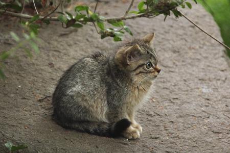 felid: European wildcat (Felis silvestris silvestris) kitten. Wild life animal.