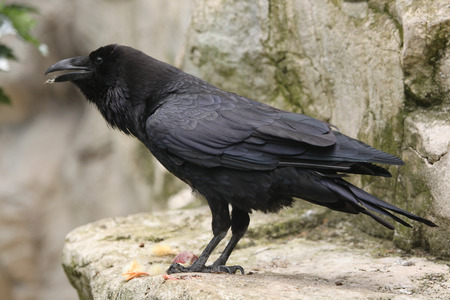 corax: Common raven Corvus corax. Wild life animal.