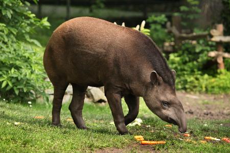 South American tapir (Tapirus terrestris), also known as the Brazilian tapir. Wildlife animal. Banco de Imagens