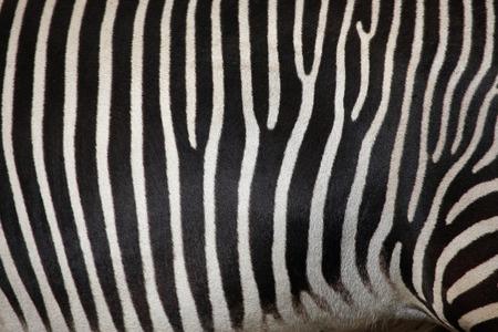 zebra: Piel de la cebra de Grevy (Equus grevyi), también conocida como la cebra imperial. Vida animal salvaje. Foto de archivo