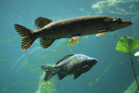 carnivorous fish: Northern pike (Esox lucius) and wild common carp (Cyprinus carpio). Wildlife animal. Stock Photo
