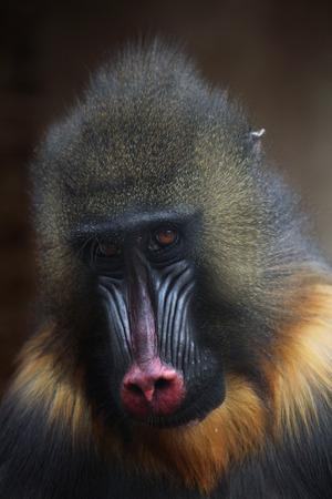 mandrill: Mandrill (Mandrillus sphinx). Wildlife animal.