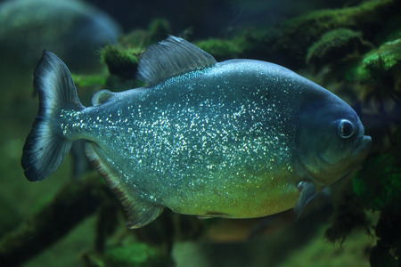 pygocentrus: Piranha (Pygocentrus piraya), also known as the man-eating piranha. Wildlife animal. Stock Photo