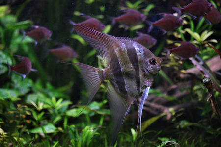 perciformes: Deep Angelfish (Pterophyllum altum), also known the Orinoco angelfish. Wildlife animal.