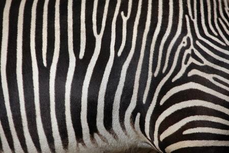 zebra: Skin of the Grevy zebra (Equus grevyi), also known as the imperial zebra. Wild life animal. Stock Photo