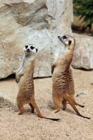 herpestidae: Meerkat (Suricata suricatta), also known as the suricate. Wildlife animal. Stock Photo