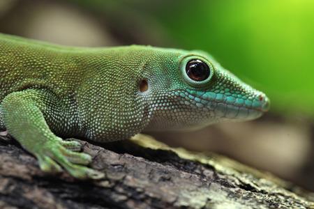 kochi: Koch giant day gecko Phelsuma madagascariensis kochi, also known as the Madagascar day gecko. Wildlife animal. Stock Photo