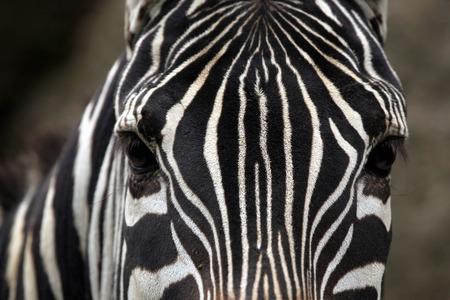 close portrait: Maneless zebra (Equus quagga borensis) skin texture. Wildlife animal.