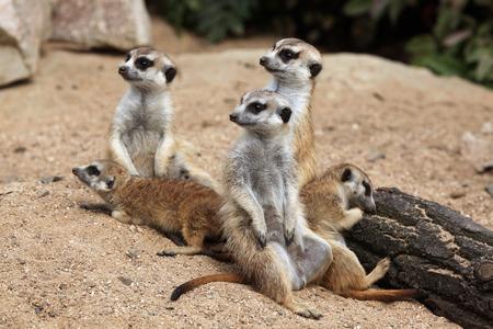 herpestidae: Meerkat (Suricata suricatta), also known as the suricate. Wildlife animal. Stock Photo