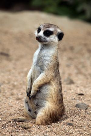 nervousness: Meerkat Suricata suricatta, also known as the suricate. Wildlife animal.