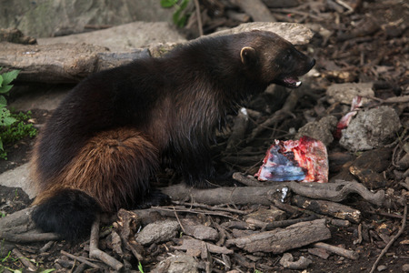 wolverine: Wolverine (Gulo gulo), also known as the glutton. Wildlife animal. Stock Photo