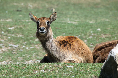 bovid: Nile lechwe (Kobus megaceros), also known as the waterbuck or wasserbock. Wild life animal.