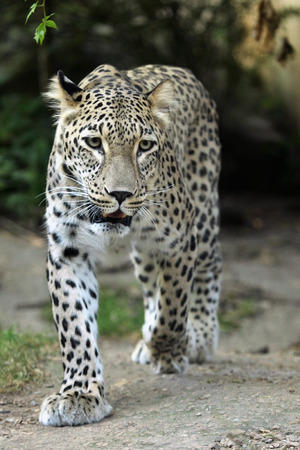 felid: Persian leopard (Panthera pardus saxicolor), also known as the Caucasian leopard. Wild life animal.