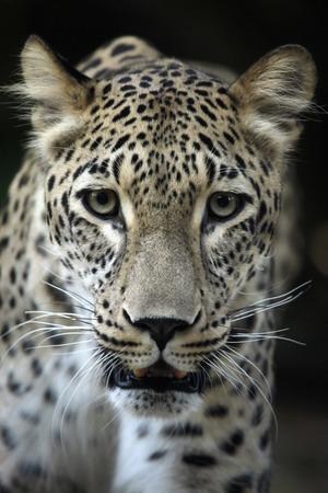 pardus: Persian leopard (Panthera pardus saxicolor), also known as the Caucasian leopard. Wild life animal.