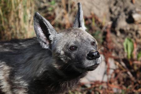 hienas: Hiena rayada (hiena hiena). Vida animal salvaje. Foto de archivo