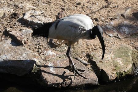 botas altas: African sacred ibis (Threskiornis aethiopicus). Wild life animal.