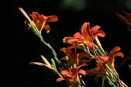 oranje lelie: