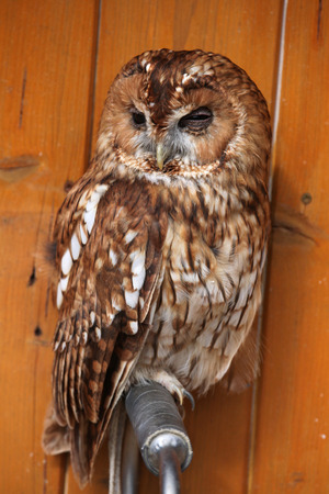 tawny owl: Tawny owl Strix aluco, also known as the brown owl. Wild life animal.