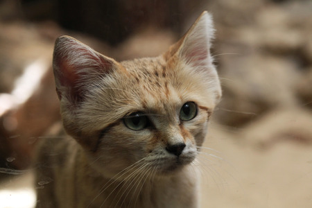 sand dune: Sand cat (Felis margarita), also known as the sand dune cat. Wild life animal.