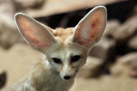 Fennec 여우 (Vulpes zerda). 야생의 삶의 동물. 스톡 콘텐츠