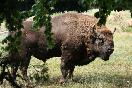 bovid: European bison Bison bonasus, also known as the wisent or the European wood bison. Wild life animal. Stock Photo