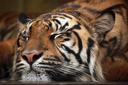 sumatran tiger: Sumatran tiger (Panthera tigris sumatrae). Wild life animal.
