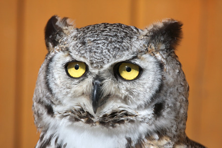 strigiformes: Great horned owl (Bubo virginianus), also known as the tiger owl. Wild life animal.