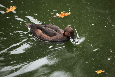 ferruginous: Ferruginous duck (Aythya nyroca), also known as the ferruginous pochard. Wild life animal. Stock Photo