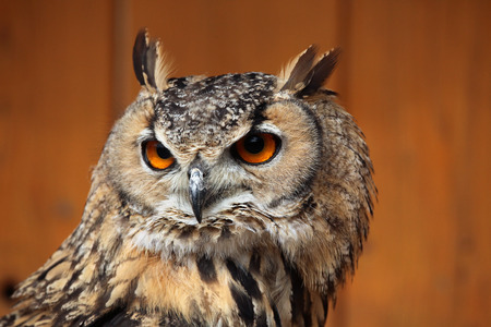 animals horned: Indian eagle-owl (Bubo bengalensis), also known as the Bengal eagle-owl. Wild life animal.