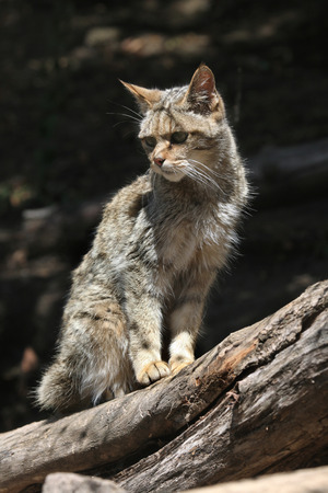 felid: European wildcat (Felis silvestris silvestris). Wild life animal. Stock Photo
