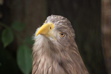 sea eagle: White-tailed eagle (Haliaeetus albicilla), also known as the sea eagle. Wild life animal.