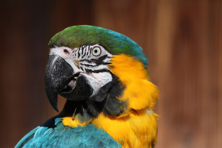 ararauna: Blue-and-yellow macaw Ara ararauna, also known as the blue-and-gold macaw. Wild life animal. Stock Photo
