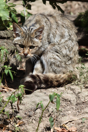 felid: European wildcat (Felis silvestris silvestris). Wild life animal. Stock Photo