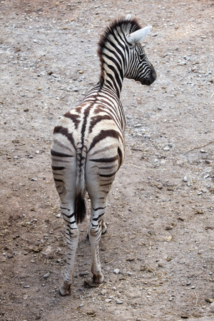 burchell: Burchell zebra Equus quagga burchellii, also known as the Damara zebra. Wild life animal. Stock Photo