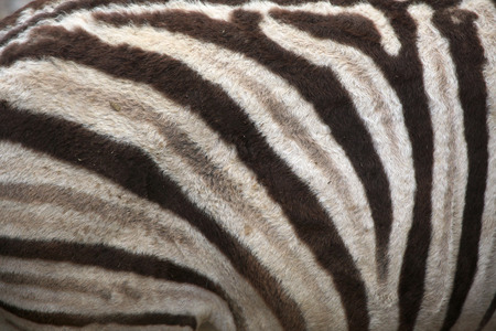 burchell: Burchell zebra (Equus quagga burchellii), also known as the Damara zebra. Skin texture. Wild life animal. Stock Photo