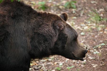 arctos: Eurasian brown bear (Ursus arctos arctos). Wild life animal. Archivio Fotografico