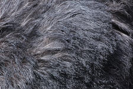 struthio camelus: Ostrich (Struthio camelus) plumage texture. Wild life animal.