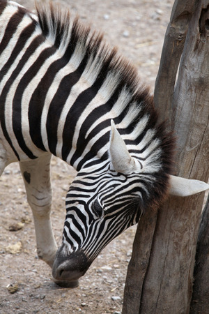 burchell: Burchell zebra (Equus quagga burchellii), also known as the Damara zebra. Wild life animal. Stock Photo