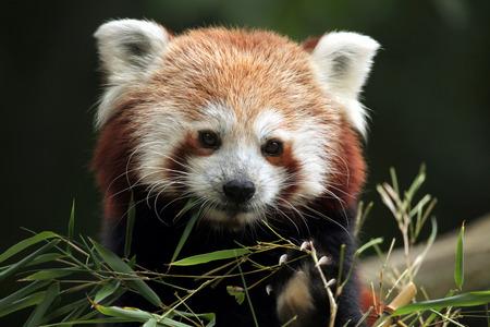 레드 팬더 Ailurus fulgens입니다. 야생의 삶의 동물. 스톡 콘텐츠