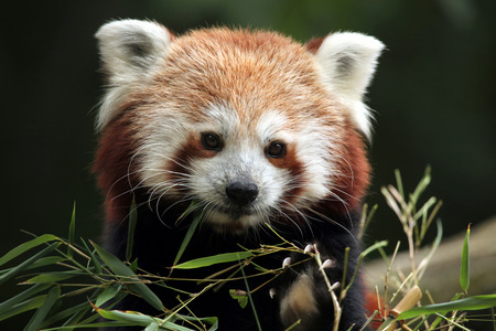 bearcat: Red panda Ailurus fulgens. Wild life animal. Stock Photo