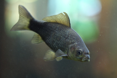 carassius gibelio: Prussian carp (Carassius gibelio), also known as the silver Prussian carp. Wild life animal.