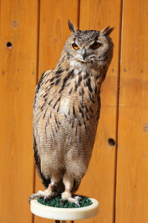 strigiformes: Indian eagle-owl (Bubo bengalensis), also known as the Bengal eagle-owl. Wild life animal.