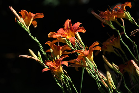 orange lily: Orange lily (Lilium bulbiferum). Flowers.