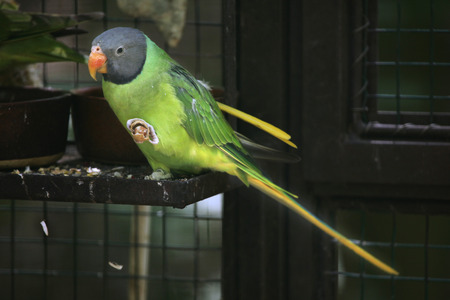 periquito: Perico-Pizarroso encabezado (Psittacula himalayana). Vida animal salvaje. Foto de archivo