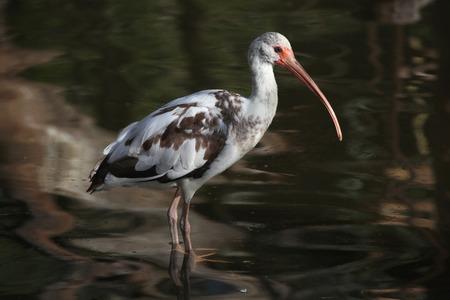 costal: American white ibis (Eudocimus albus) juvenile. Wild life animal.